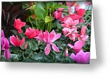 Colorful Cyclamen Greeting Card
