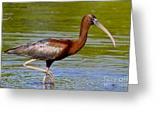 Colorful Glossy Ibis Greeting Card