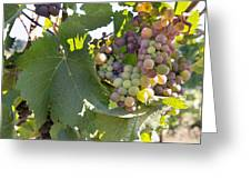 Colorful Grapes Growing On Grapevine Greeting Card
