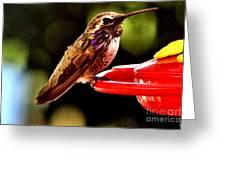 Colorful Juvenile Humingbird Greeting Card