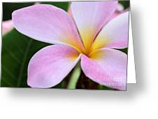 Colorful Pink Plumeria Flower Greeting Card