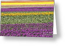 colorful tulips in Holland Greeting Card