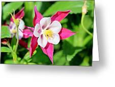Columbine Aquilegia Greeting Card
