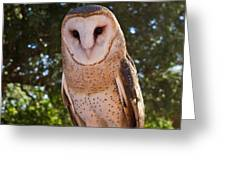 Common Barn Owl 1 Greeting Card