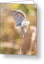 Common Blue Butterfly Greeting Card