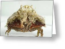 Common Box Crab Greeting Card