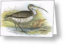 Common Curlew Greeting Card