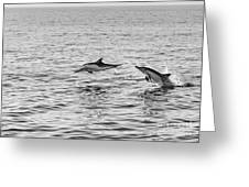 Common Dolphins Leaping. Greeting Card