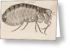 Common Flea (pulex)           Date 1810 Greeting Card