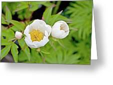 Common Garden Peony (paeonia Lactiflora) Greeting Card