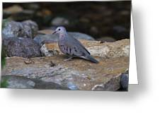 Common Ground-dove Greeting Card