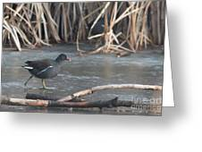 Common Moorhen Iced Lake Greeting Card