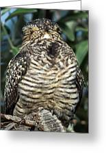 Common Nighthawk Napping Greeting Card