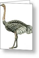 Common Ostrich Greeting Card