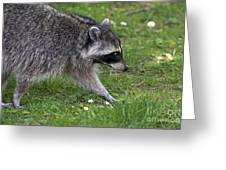 Common Raccoon Greeting Card