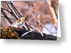 Common Redpoll Female Greeting Card by Chris Heitstuman