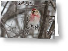 Common Redpoll - Sizerin Flamme - Acanthis Flammea Greeting Card