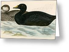 Common Scoter Greeting Card