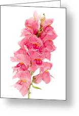 Common Snapdragon Greeting Card