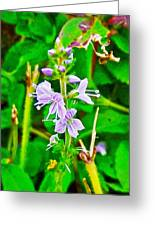 Common Speedwell On Skyline Trail In Cape Breton Highlands National Park-nova Scotia  Greeting Card