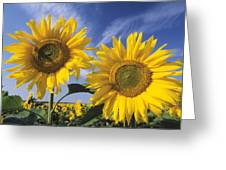 Common Sunflower Field Greeting Card