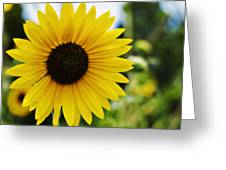 Common Sunflower Greeting Card