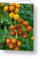 Common Tansy At The End Of Life Greeting Card