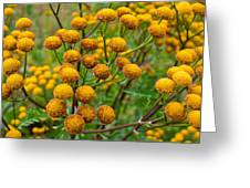 Common Tansy Greeting Card