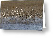 Common Teal Anas Crecca Greeting Card