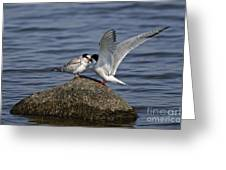 Common Tern Pictures 48 Greeting Card
