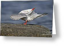 Common Tern Pictures 51 Greeting Card