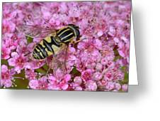Common Tiger Hoverfly Greeting Card