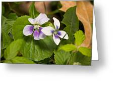 Common Violet Greeting Card