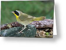 Common Yellowthroat Geothlypis Trichas Greeting Card