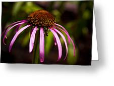 Cone Flower 2 Greeting Card