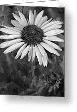Coneflower And Dusty Miller Bw Greeting Card