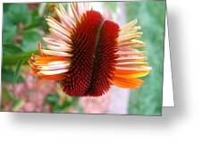 Coneflower Bloom Unspiraling Greeting Card