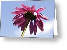 Coneflower  Greeting Card by Tony Cordoza