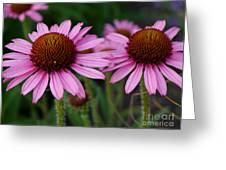 Coneflowers - Echinacea Purpurea Greeting Card