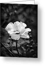 Confederate Rose Bw Greeting Card