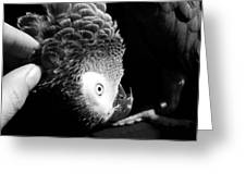 Congo African Grey 7 Greeting Card by Paulina Szajek