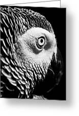 Congo African Grey 8 Greeting Card