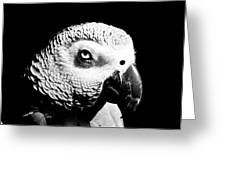 Congo African Grey Head Shot Greeting Card