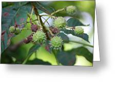 Conkers Greeting Card