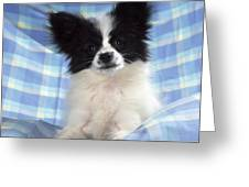 Continetal Toy Spaniel Or Papillon Dog Greeting Card