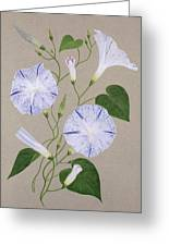 Convolvulus Cneorum Greeting Card by Frances Buckland