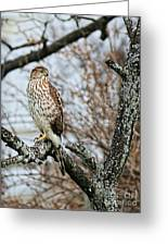 Coopers Hawk 0748 Greeting Card