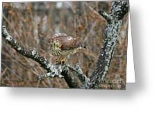 Coopers Hawk 0750 Greeting Card