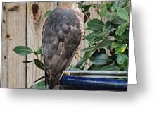 Coopers Hawk 1 Greeting Card
