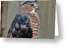 Coopers Hawk 3 Greeting Card by Helen Carson